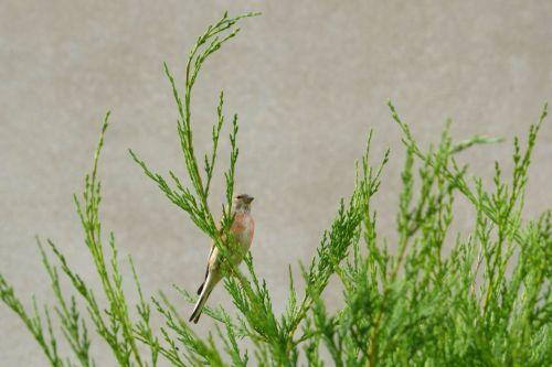 linnet flax fink bird