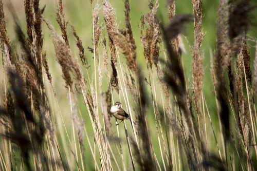 bird reeds wildlife