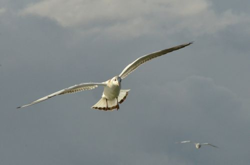 bird seagull wing