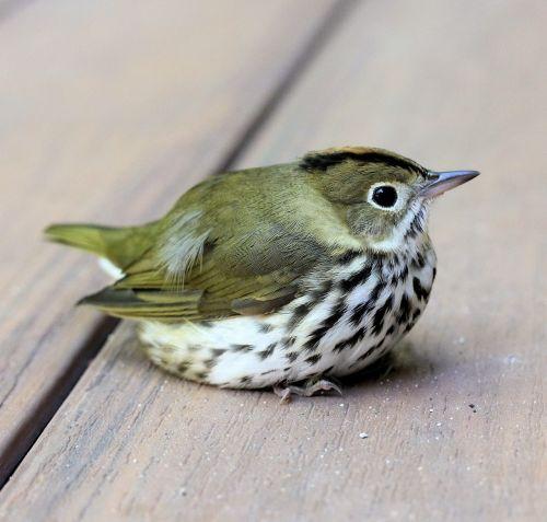 bird ovenbird perch