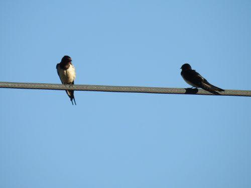 bird schwalbe power line
