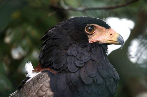 bird raptor bird of prey