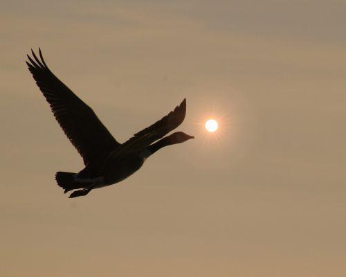 bird geese goose