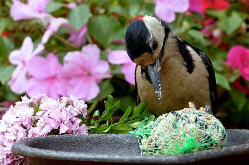 bird great spotted woodpecker dendrocopos major