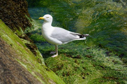 bird fauna gull