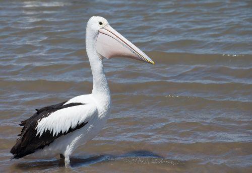 australian pelican sea bird animal