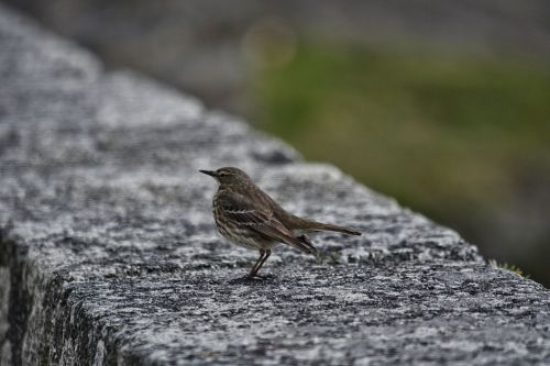 bird sparrow house sparrow