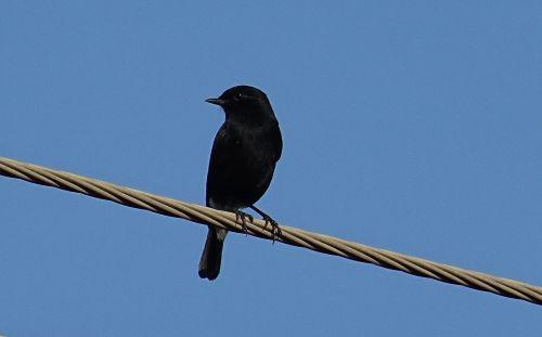 bird pied bush chat saxicola caprata