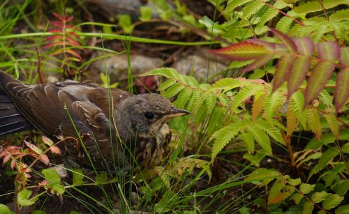 bird thrush camouflages