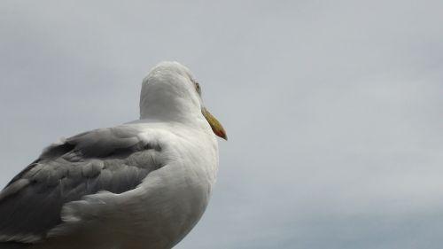 bird seagull ocean