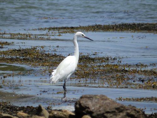 bird great egret wader