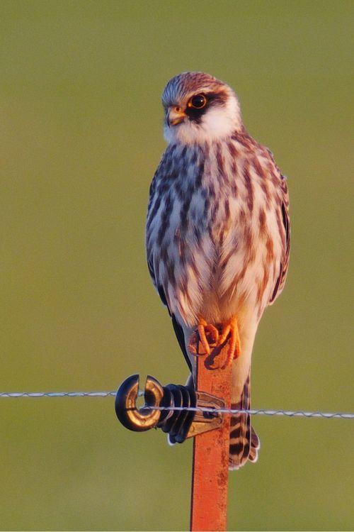 bird falcon bird of prey
