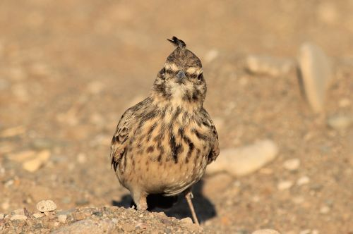 bird crested crested lark