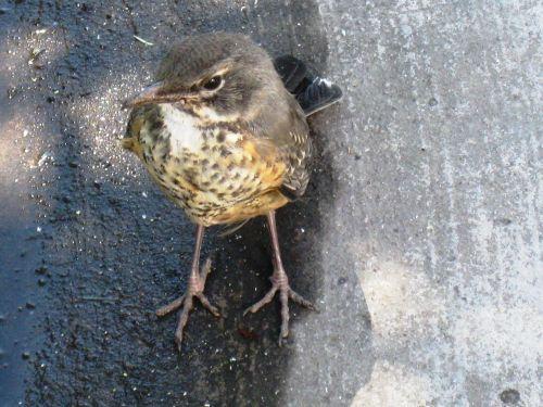 bird brown legs
