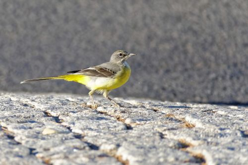 bird grey wagtail animal world