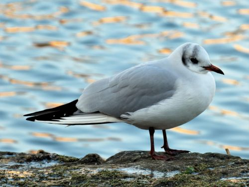 bird aquatic black-headed gull