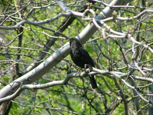 bird blackbirds thrush