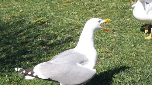 bird seagull running