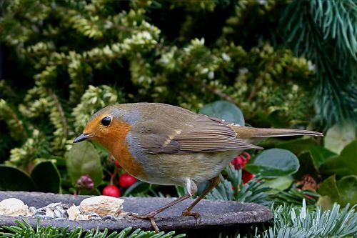 bird songbird robin