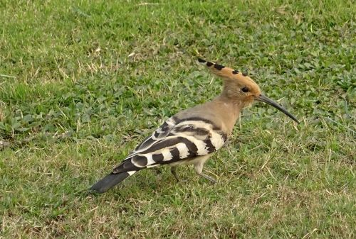 bird avian hoopoe