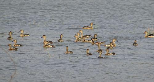 bird duck avian
