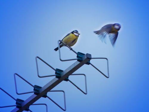 bird antenna tit