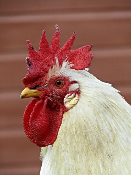 bird farm rooster