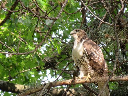 bird hawk broad winged hawk