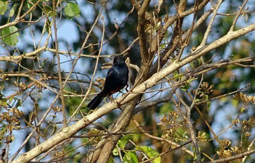 bird robin indian robin