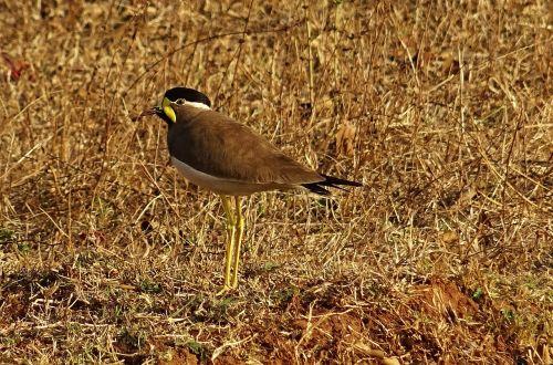 bird yellow-wattled lapwing vanellus malabaricus