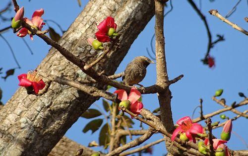 bird yellow-billed babbler shimul tree