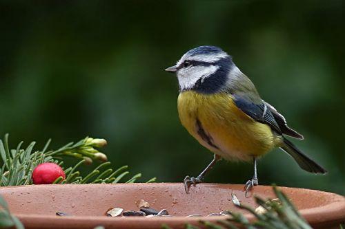 bird blue tit cyanistes caeruleus