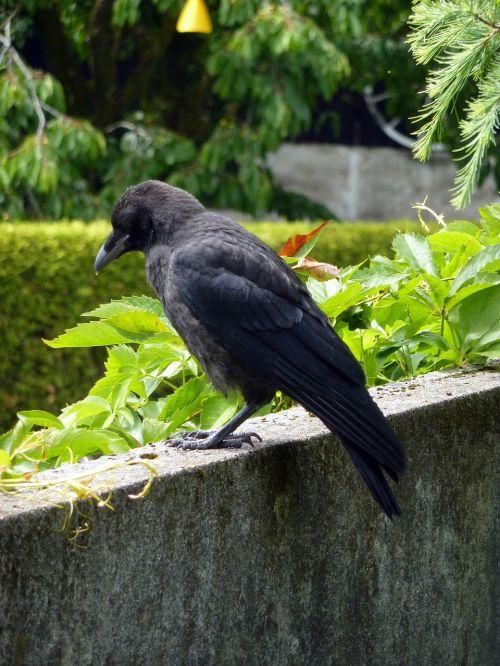 bird black crow