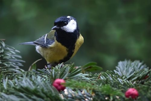 bird tit parus major