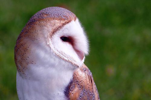 bird barn owl owl