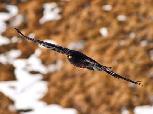 bird bergdohle mountains
