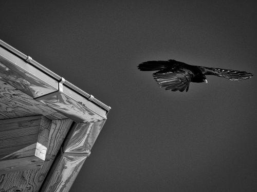 bird bergdohle fly