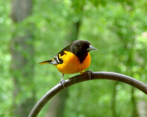 bird avian baltimore oriole