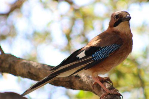 bird jay corsican
