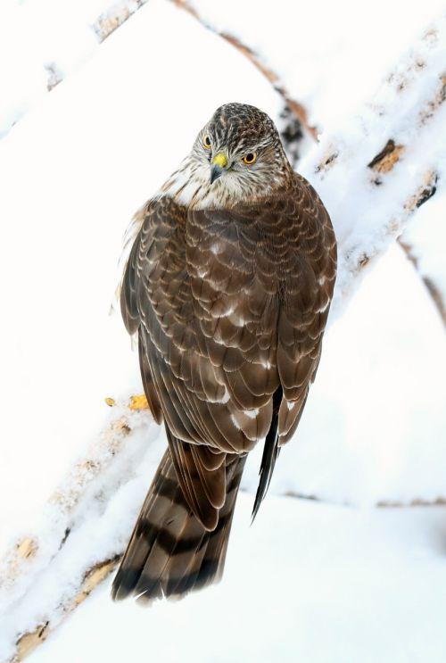bird hawk sharp shinned hawk