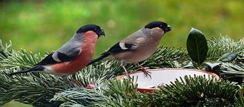 bird bullfinch couple