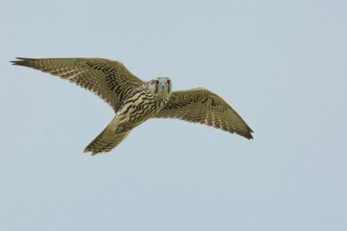 bird access the local peregrine flight