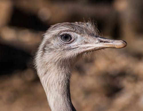bird africa ostrich farm