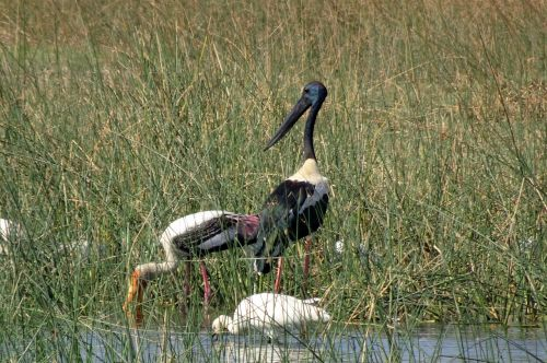 bird stork black-necked stork