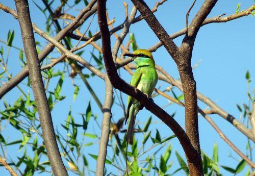 bird green bee-eater merops orientalis