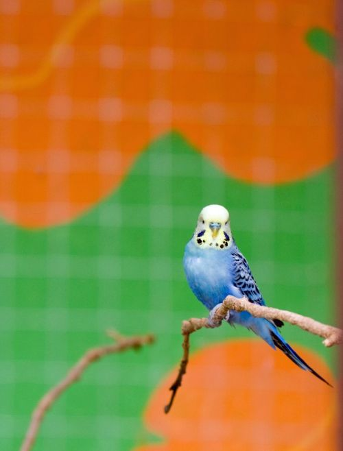 bird budgie budgerigar