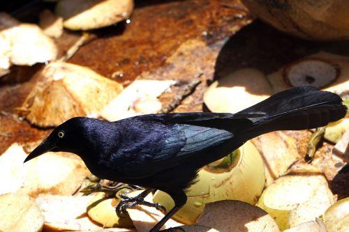 bird black troepiaal