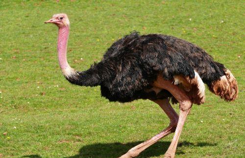 bird ostrich nature