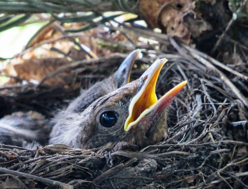 bird blackbird nest
