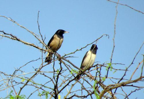 bird rosy pastor rosy starling